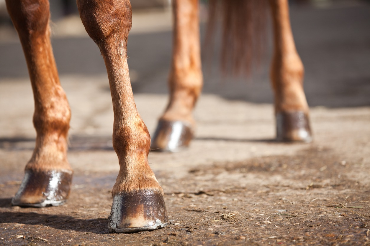 photo-of-horse's-legs-from-the-knee-down-showing-hooves-on-ground